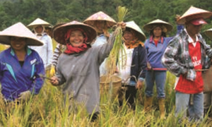 Contract Farming Scheme: Traditional Red Rice